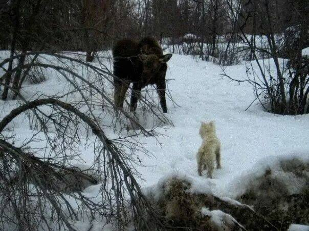 Our dog Mulder getting acquainted with the neighborhood moose calf.