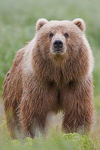200px-2010-brown-bear